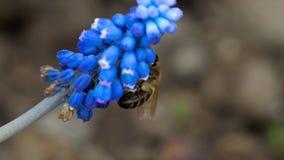 Ape sul fiore del Muscari