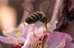 Ape sul fiore dell'albicocca fotografia stock