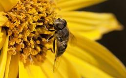 Ape sul fiore giallo Immagine Stock Libera da Diritti
