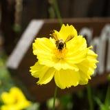 Ape sul fiore giallo Fotografia Stock