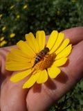 Ape sul fiore giallo a disposizione Fotografia Stock