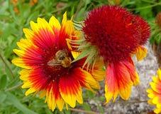 Ape sul fiore giallo e rosso Fotografie Stock