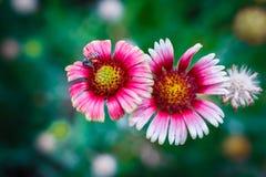 Ape sul fiore, raccogliente nettare Fotografie Stock Libere da Diritti