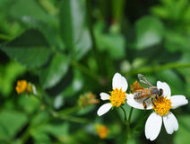 Ape sul lavoro sul fiore bianco e giallo Fotografia Stock Libera da Diritti