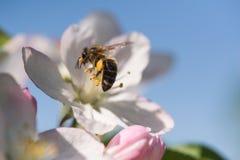 Ape sull'fiori bianchi delicati del ciliegio - prunus cerasus Immagini Stock