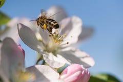 Ape sull'fiori bianchi delicati del ciliegio - prunus cerasus Fotografia Stock
