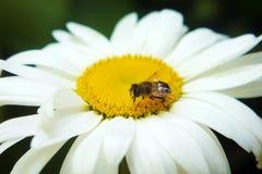 Ape sulla camomilla che raccoglie miele fotografia stock