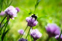 Ape sulla erba cipollina di fioritura Fotografie Stock