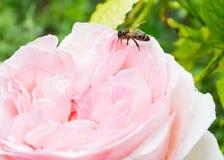 Ape sulla rosa di rosa nelle gocce Immagine Stock Libera da Diritti
