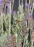 Ape vicino ai fiori porpora Fotografia Stock Libera da Diritti
