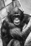 Ape Stock Image