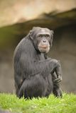 Ape at the zoo. An ape sitting at the zoo royalty free stock photography