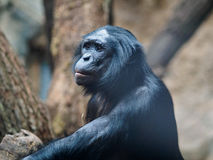 Ape in zoo. An ape in a zoo Stock Photography