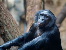 Ape in zoo. An ape in a zoo Stock Photos