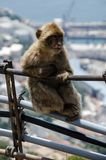 Ape on Gibraltar. Sitting on metal pipe Stock Photos