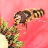 Apego del polen Imagen de archivo libre de regalías