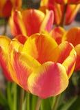 Apeldoorn Elite tulips Stock Photo