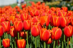 Apeldoorn-` s Auslese-Tulpe - Veldheer Tulip Garden in Holland Stockfotografie