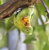 Apelsin--chinned eller Tovi parakiter arkivbilder