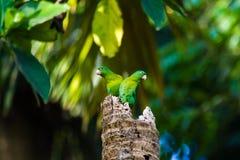 Apelsin-chinnedparakiter fotografering för bildbyråer