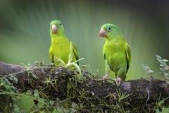 Apelsin-chinnedparakiter - Brotogeris jugularis royaltyfria foton