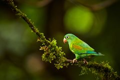 Apelsin-chinnedparakiter, Brotogeris jugularis, papegoja från costaen vektor illustrationer