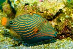 Apelsin fodrad Triggerfish Fotografering för Bildbyråer