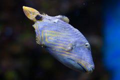Apelsin-fodrad triggerfish (den Balistapus undulatusen) Fotografering för Bildbyråer