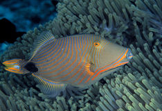 Apelsin-fodrad Triggerfish, Sipadan ö, Sabah Royaltyfri Bild