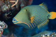 Apelsin-görad randig triggerfish Arkivbilder