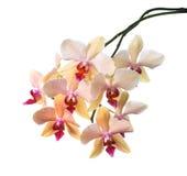 Apelsin gjord randig orkidé som isoleras på viten Arkivbilder