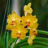 Apelsin-guling orkidéblommor - Vanda Royaltyfria Foton