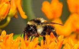 Apelsin-kutit stappla biet på den orange blomman för fjärilsmilkweeden på området för Crexängdjurliv i nordliga Wisconsin - extre arkivfoto