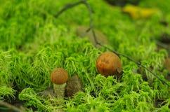 Apelsin-lock boletuschampinjon i skogen Arkivfoton