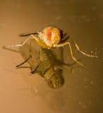 Apelsin och Amber Housefly With Double Reflection royaltyfri foto