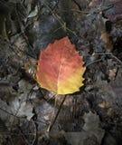 Apelsin och guling Aspen Leaf i de Adirondack bergen royaltyfria foton