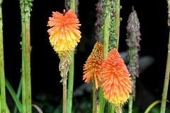 Apelsin- och gulingblommor Arkivfoton
