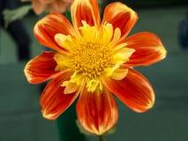 Apelsin och gulingdahlia på suddig bakgrund Royaltyfria Bilder