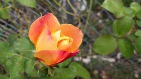 Apelsin och rosa färgros Arkivfoton
