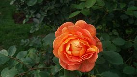 Apelsin och trädgård Royaltyfri Bild
