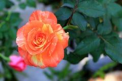 Apelsin och yellowRose Fotografering för Bildbyråer