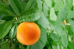Apelsin på en citrusträd. royaltyfri bild