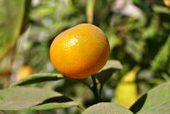 Apelsin på ett träd royaltyfria foton