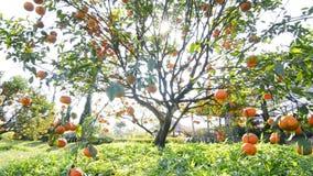 Apelsin på träd i trädgårds- växt lager videofilmer