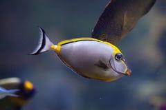 Apelsin-rygg unicornfish (den Naso lituratusen) Royaltyfri Foto