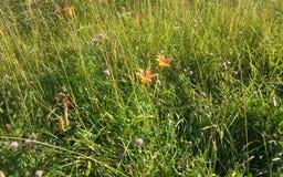 Apelsinblommor och purpurfärgad växt av släktet Trifolium Royaltyfria Foton