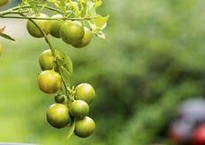 Apelsinen bär frukt garnering Arkivfoton