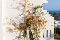 Apelsinen blommar på väggen av huset arkivfoton