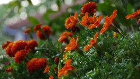 Apelsinen blommar under regnduschar lager videofilmer