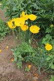 Apelsinen blommar vallmo som växer i trädgården Royaltyfri Fotografi